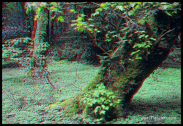 Primordial trees stereo photo. gallery