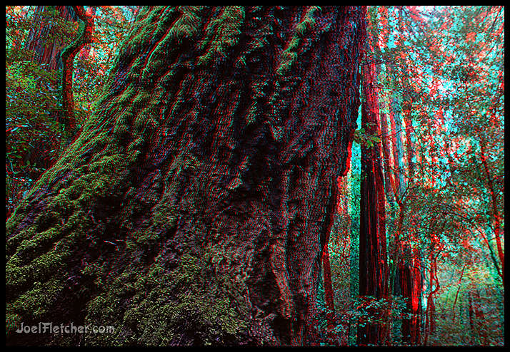 Tree trunk in redwood forest. gallery