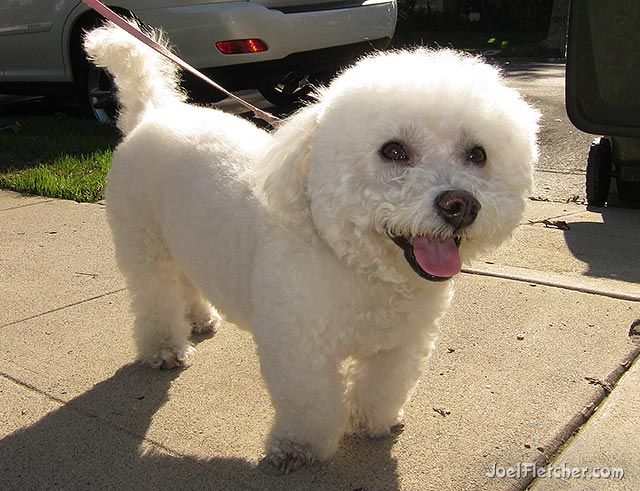 Cute Bichon Frise. edge