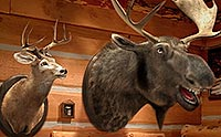 Talking deer and moose hunting trophies