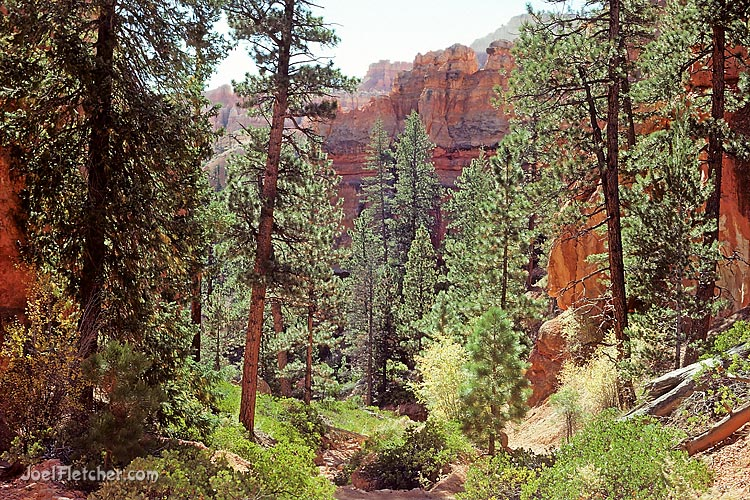 Pine grove in Bryce Canyon park. gallery