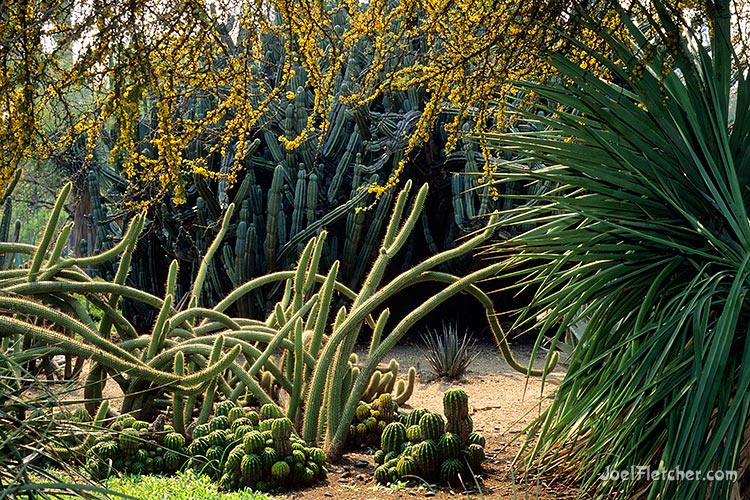 Cactus garden at the Huntington. gallery