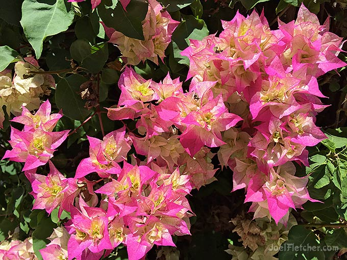 Unique kaleidoscopic bougainvillea flowers.