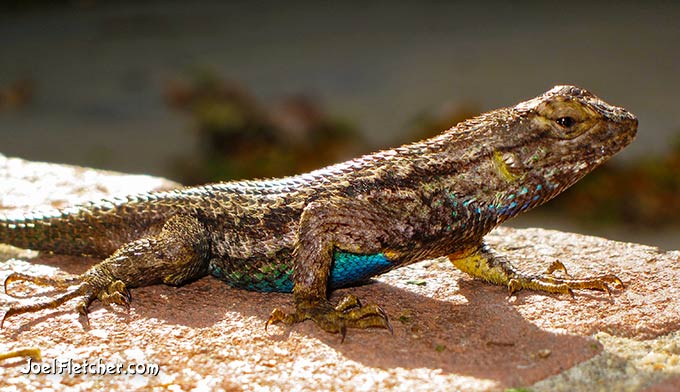 Lizard with blue belly.