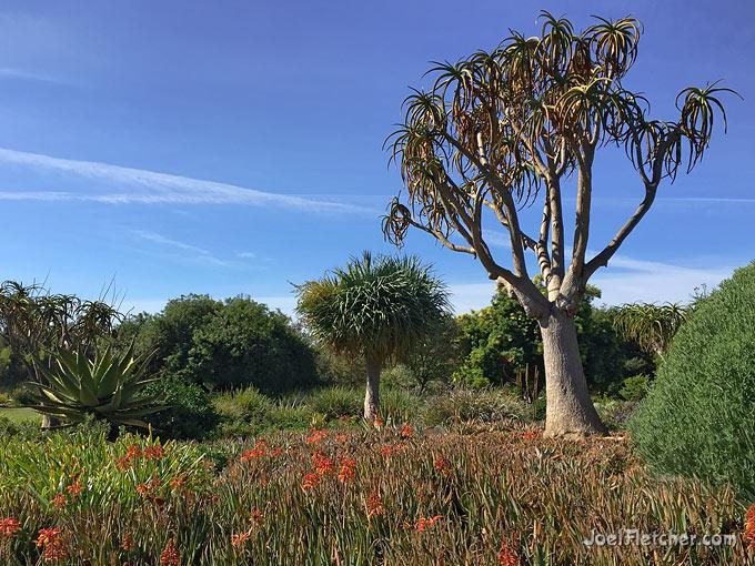 Exotic desert plants of African origin.