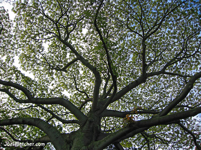 A worms-eye view of the branches and leaves of a tree.