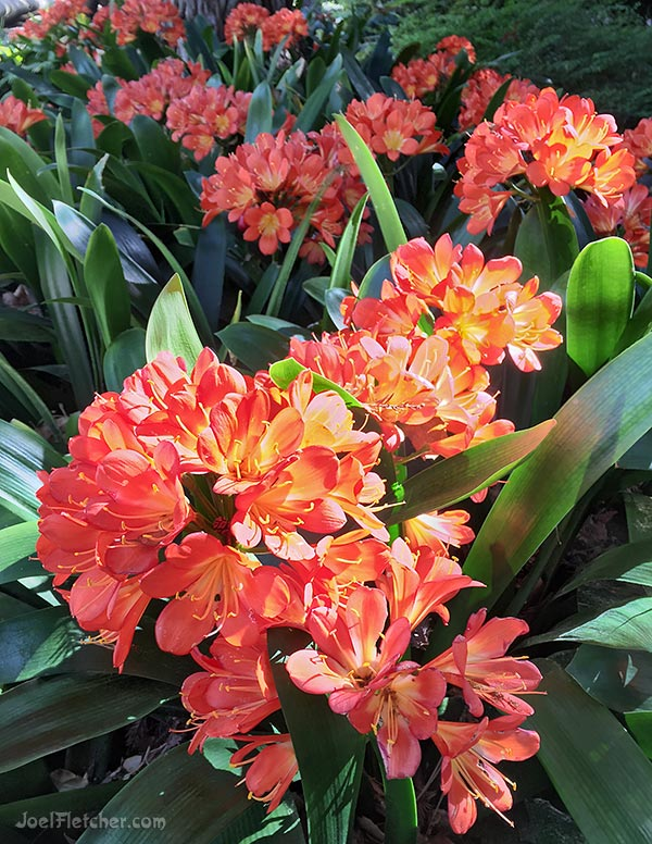 A group of Clivia plants with bright orange flowers.