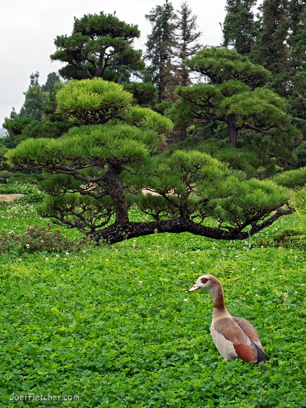 An Egyptian Goose with exotic asian trees in the background.