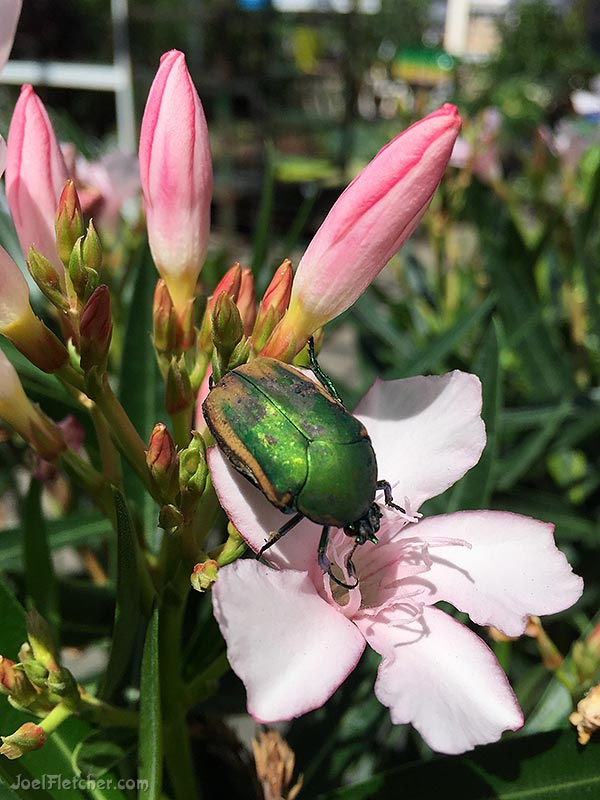 An iridescent green beetle on flowers