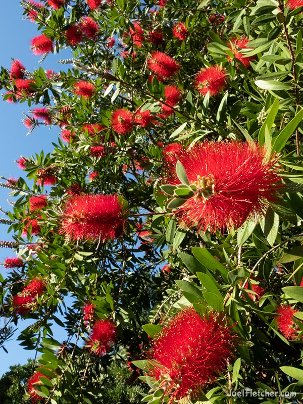 A mass of bright red bottlebrush flowers in a Callistemon tree.